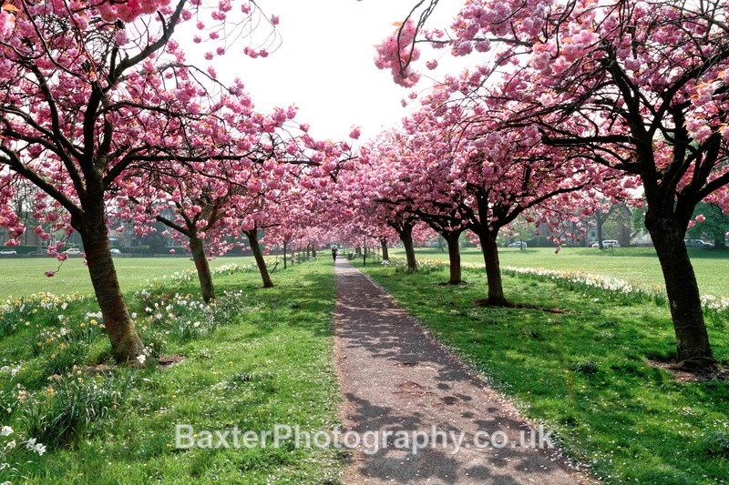 Cherry Trees and Shadows - Harrogate Town