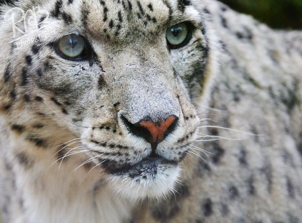 Snow Leopard - Misc Images