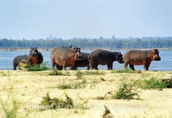 Island Hippos - Around The World
