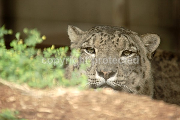 Snow Leopard - Pavesh - Cat Survival Trust - Big and Small Wild Cats