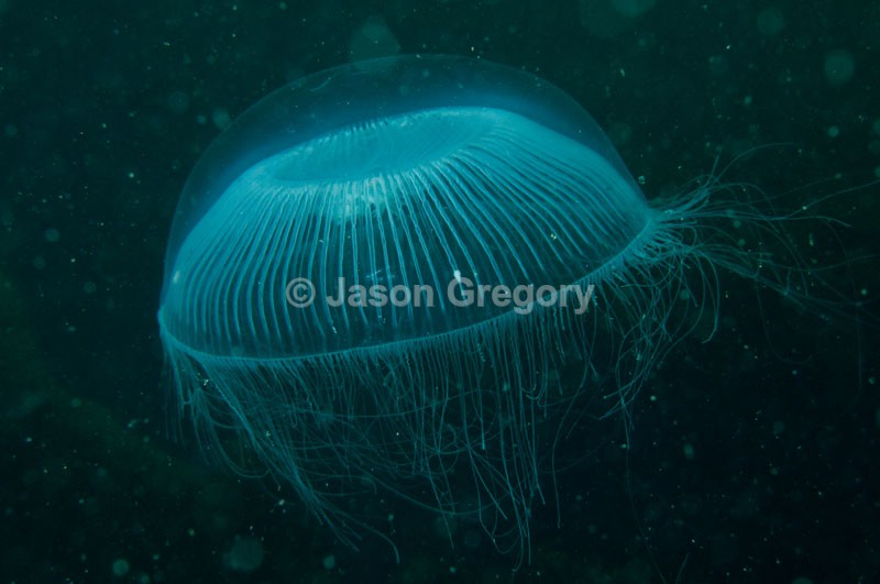Aequorea forskalea - Jellyfish and 'jelly-like' animals
