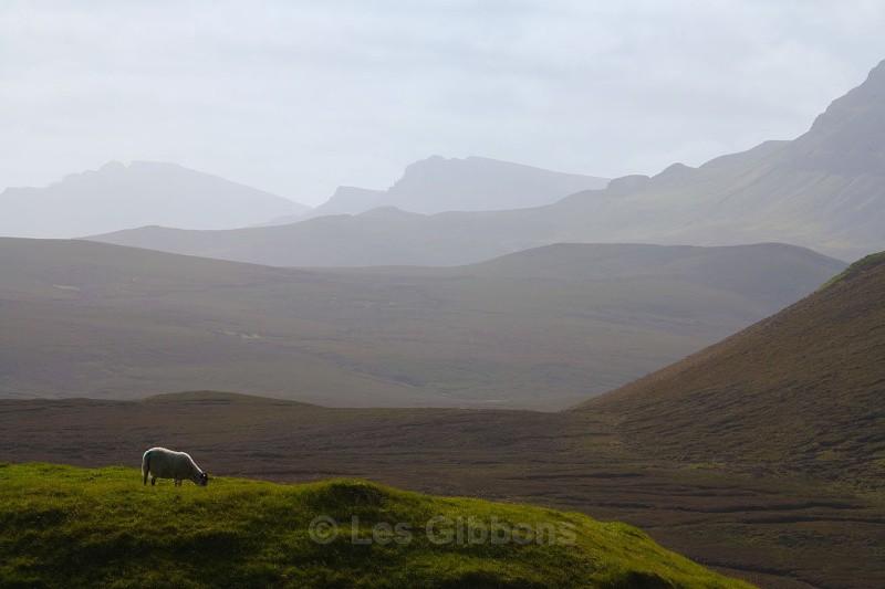 sheep at the Quirang - Highlands and Islands