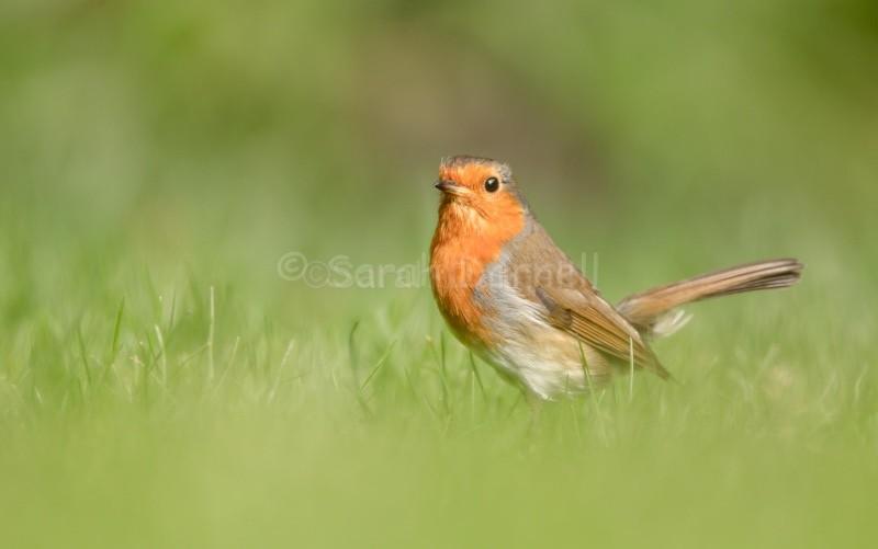 Robin 3 - Robins