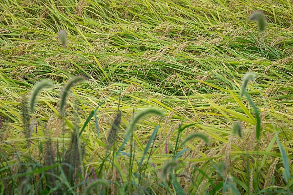 10 Rice with Foxtail Grass - Autumn Rice
