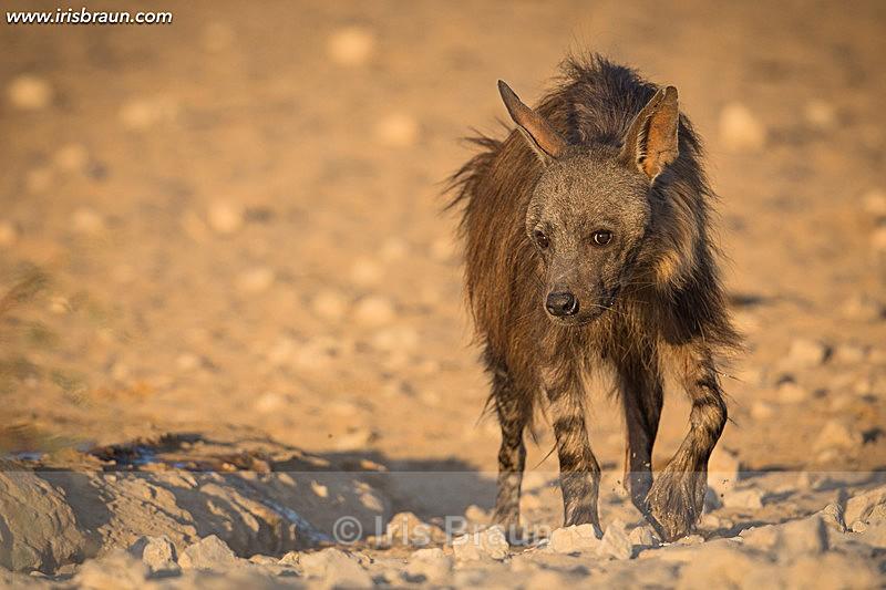 Brown Hyena - Hyena