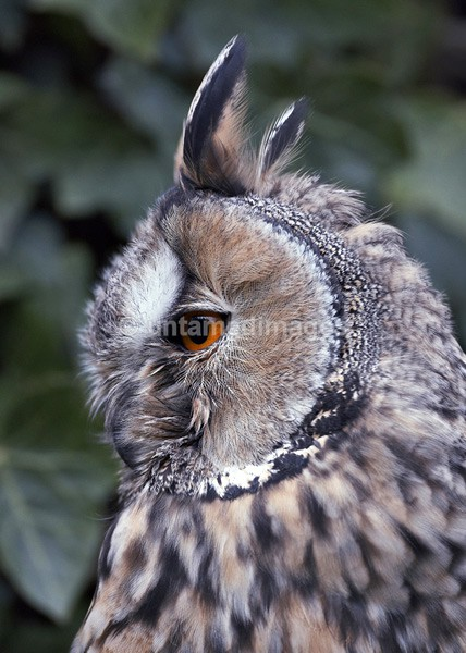 Long-eared owl - United Kingdom