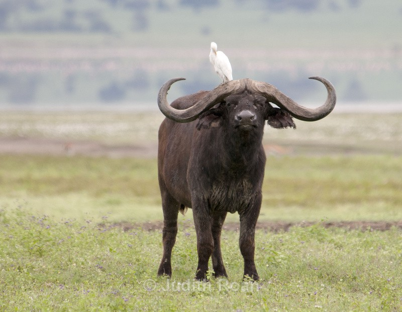 relationship between cattle egrets and cape buffalo