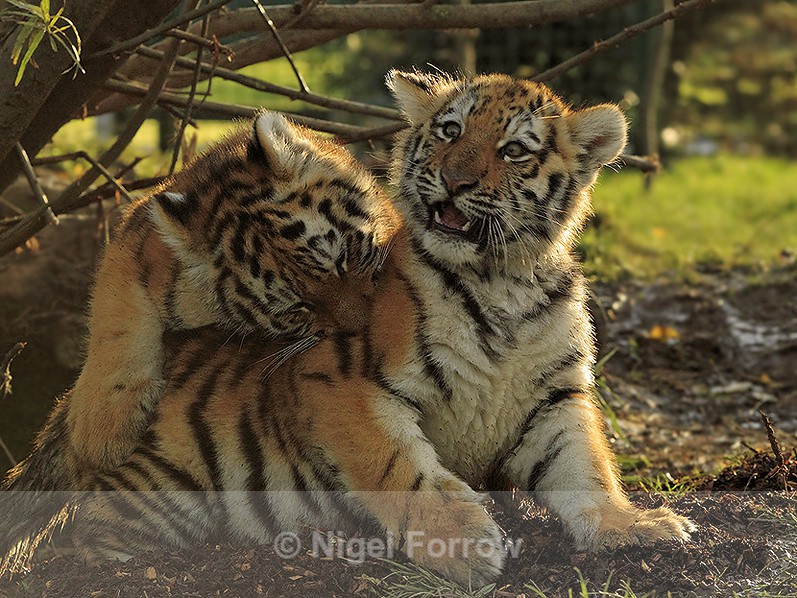 Two Amur Tiger cubs play-fighting at the WHF - Tiger