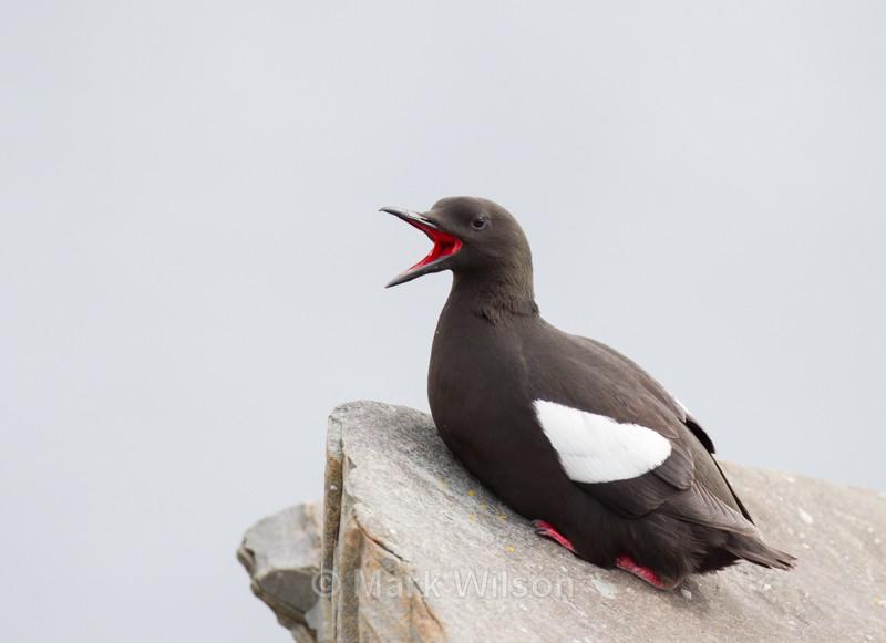 Black Guillemot - Seabirds