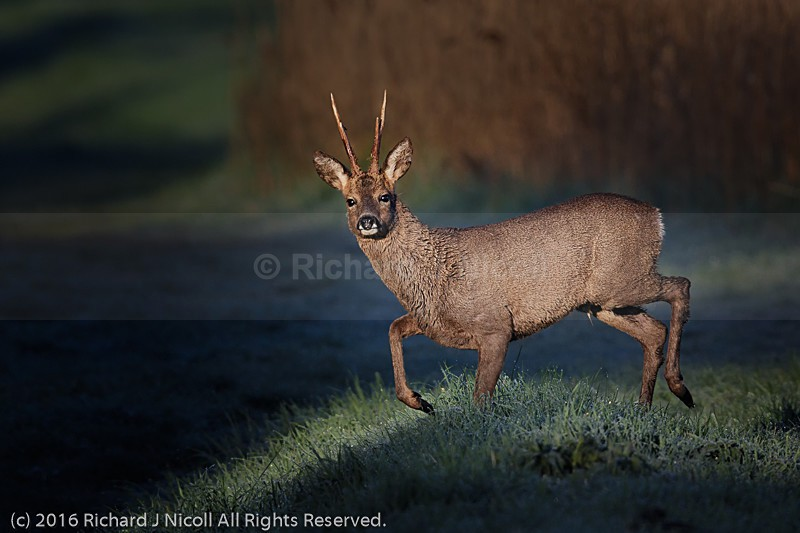 Roe Deer (Capreolus capreolus) at Sunrise - Roe Deer (Capreolus capreolus)