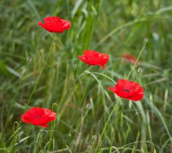 poppies - Tuscany