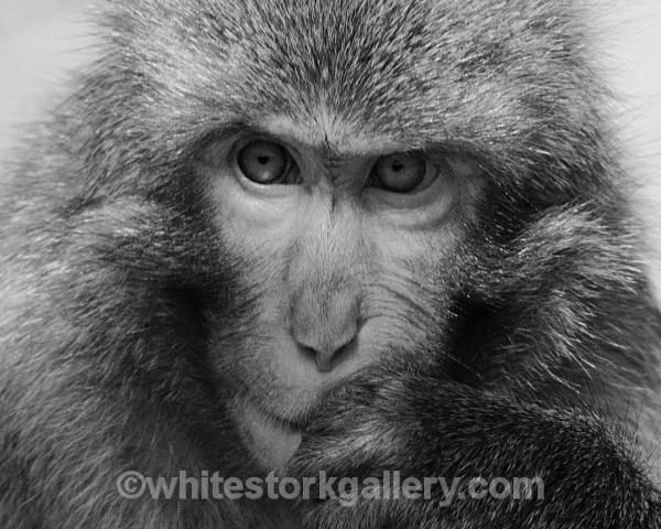 I'm Thinking! - Japanese Monkey - Wildlife and Animals