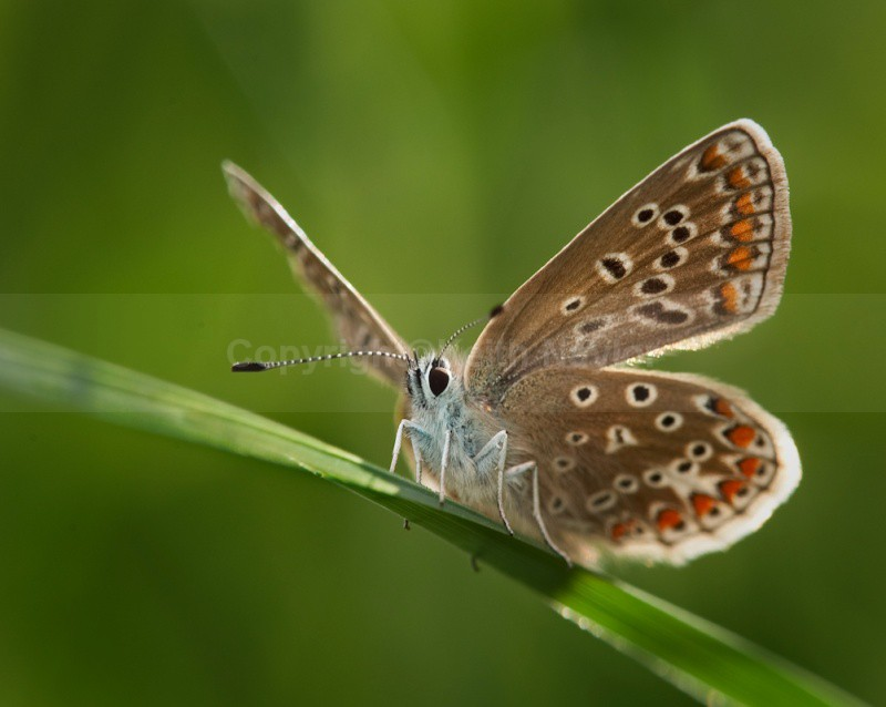 Common Blue - Latest Work