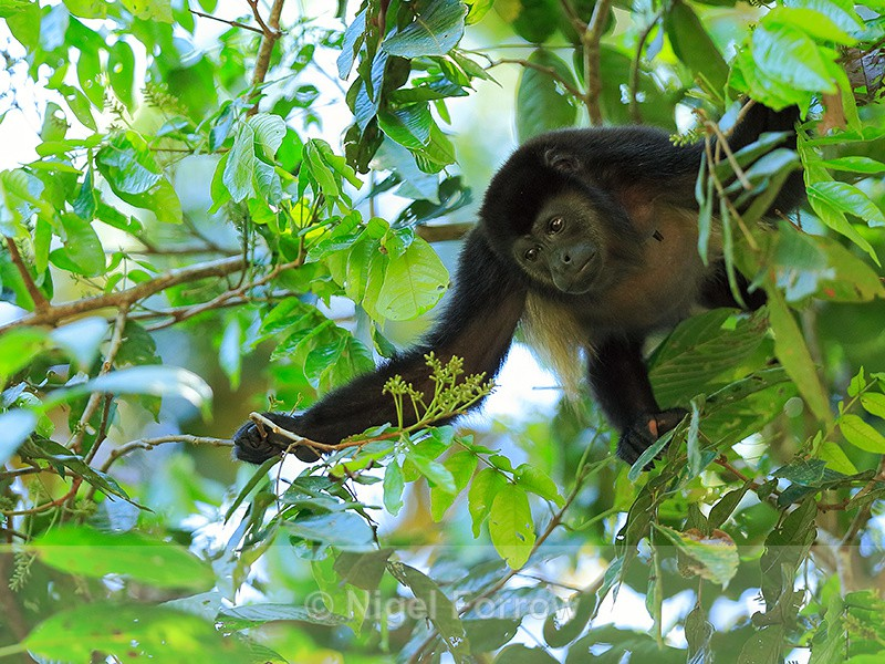 Howler Monkey looking for food, Manuel Antonio, Costa Rica - Monkey