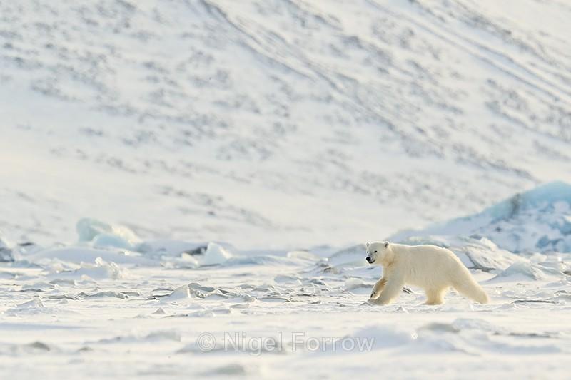 Polar Bear cub running, Svalbard, Norway - Polar Bear