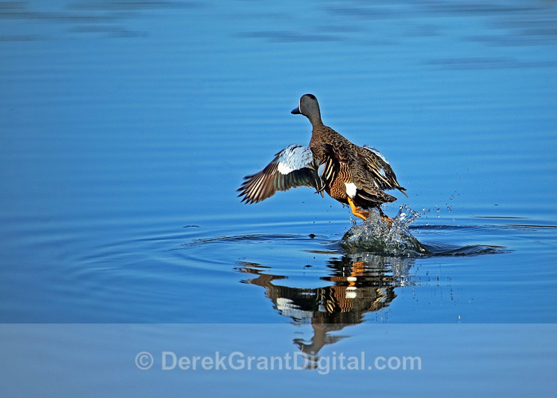 Blue-winged Teal (m) - Takeoff - Birds of Atlantic Canada