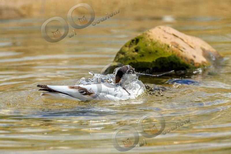 avocet Recurvirostra avosetta-5603 - UK birds