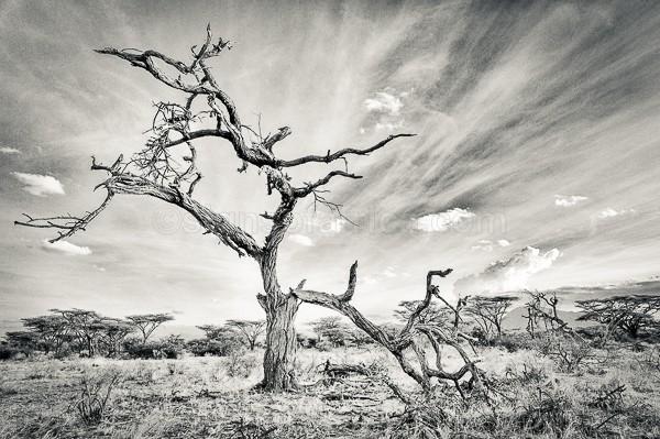 Dead Tree, Shaba National Reserve, Kenya
