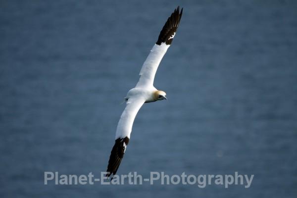 Gannet 3 - UK Wildlife