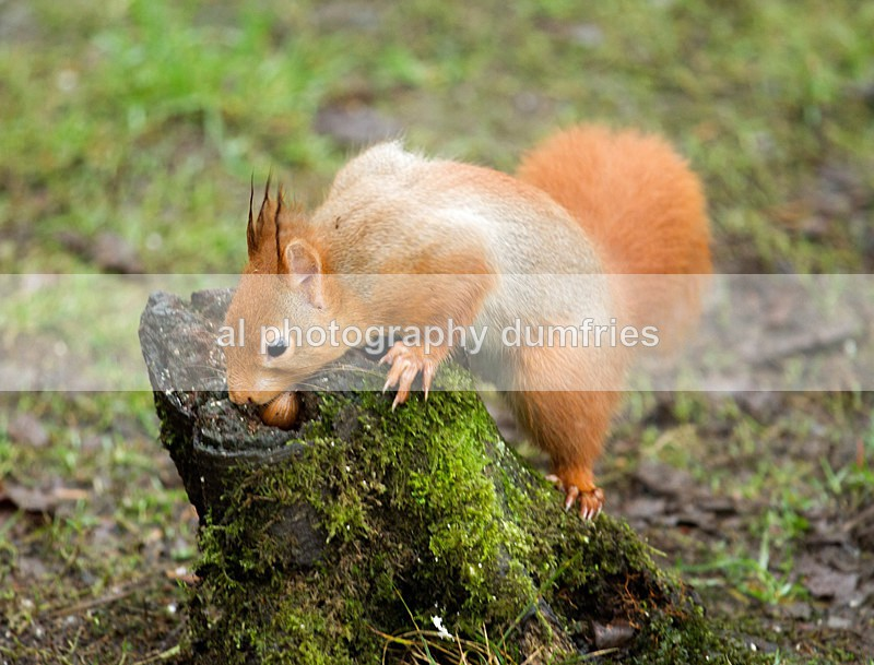 Red Squirrel 14 (disambiguation). - Eskrigg Nature Reserve Lockerbie