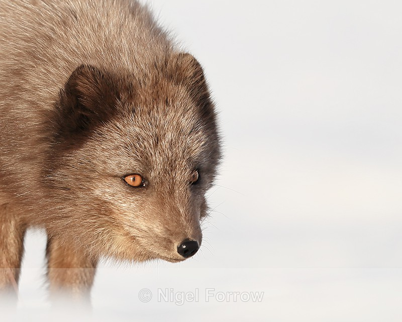 Arctic Fox (dark) head close, Svalbard, Norway - Arctic Fox