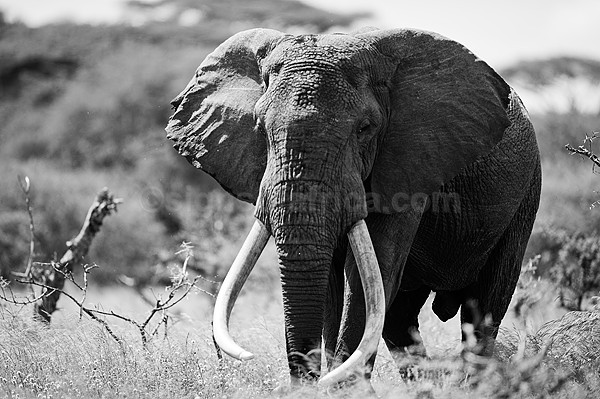 Elephant Chyulu Hills, Ol Donyo Wuas, Kenya