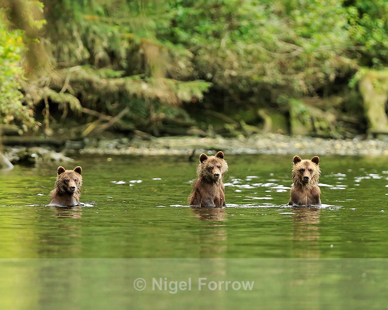 Three Grizzly Bear Cubs in water, Knight Inlet, British Columbia, Canada - Brown Bear