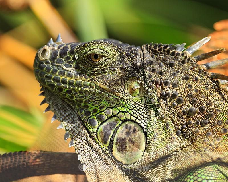 Green Iguana close-up, Costa Rica - REPTILES & AMPHIBIANS