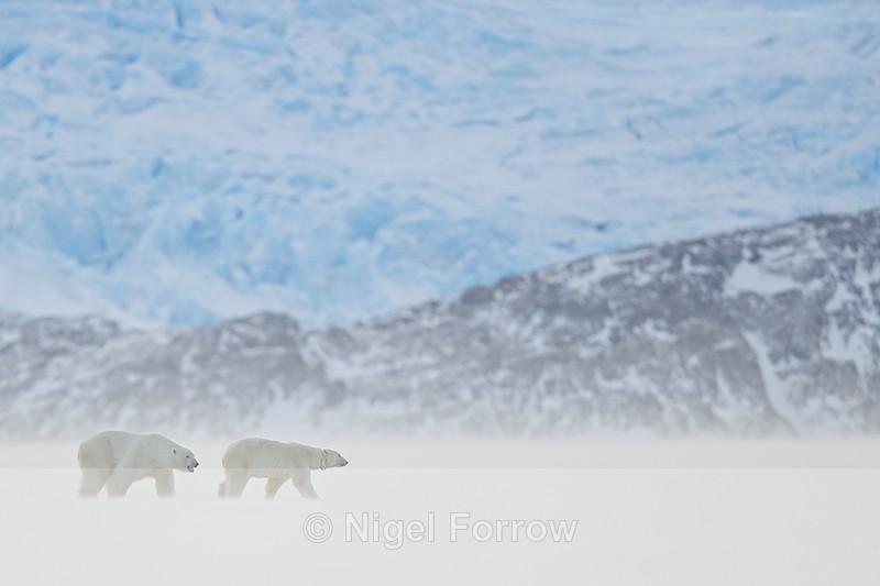 Male Polar Bear following female, Svalbard, Norway - Polar Bear