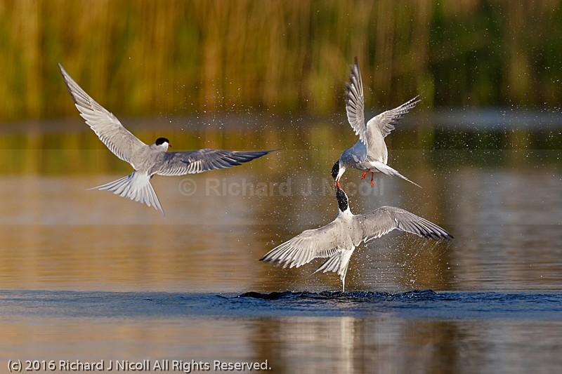 Common Tern (Sterna hirundo) Rivalry - Common Tern (Sterna hirundo)