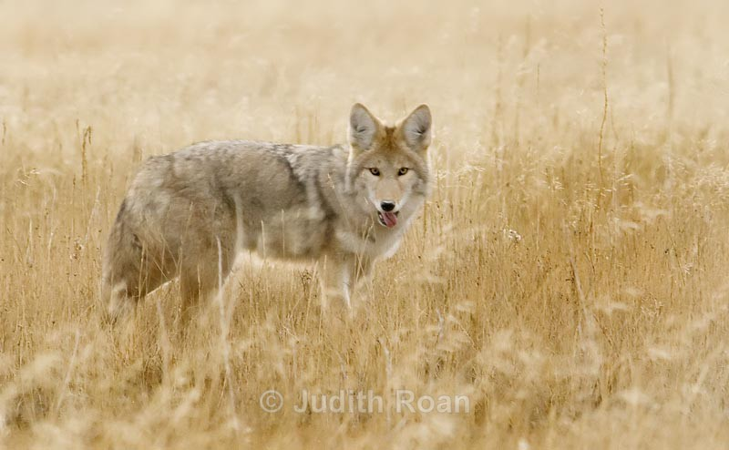 Coyote - Yellowstone