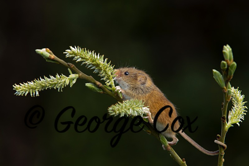Harvest Mouse - Mammals