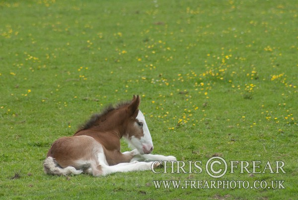 ryecroft-21 - Clydesdales 2013 Include Foals