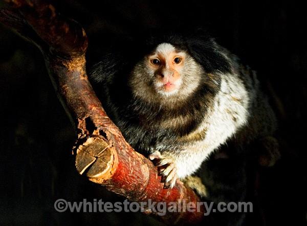 Marmoset - Wildlife and Animals