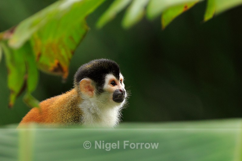 Close-up view of a Squirrel Monkey at Bosque del Cabo, Costa Rica - Monkey