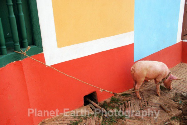 His Pet Pig - Cuba