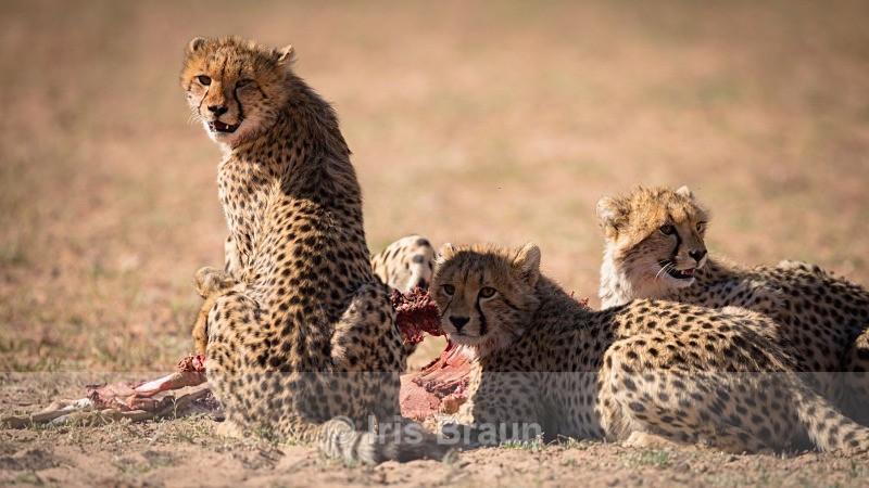 Bon Appetit - Cheetah