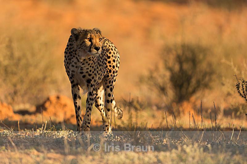 Golden Cheetah - Cheetah