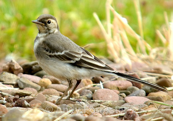 Juvenile Pied Wagtail - Birds