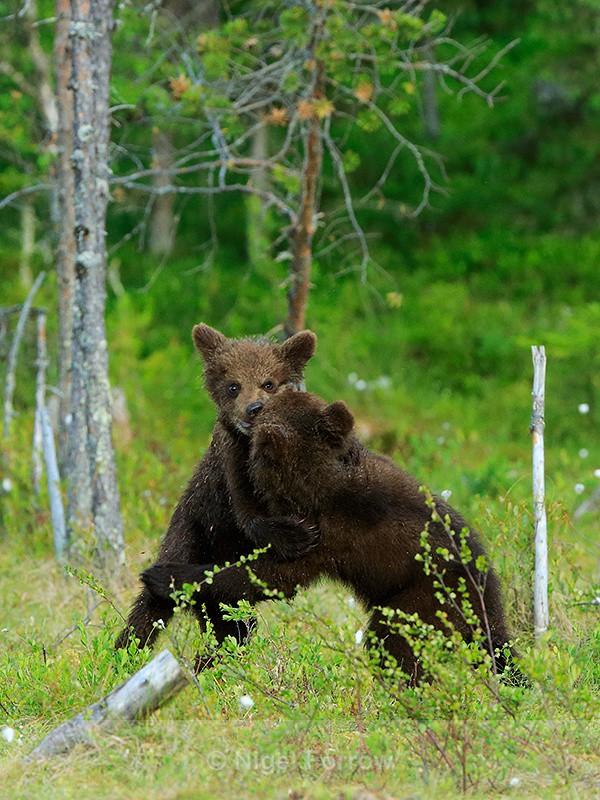Brown Bear cubs play-fighting - Bear