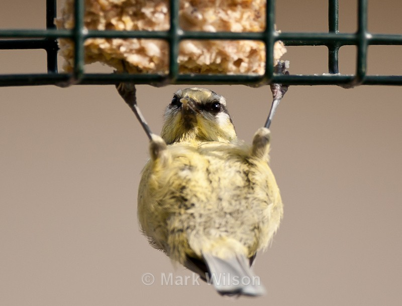Blue Tit weightlifter - On the feeders