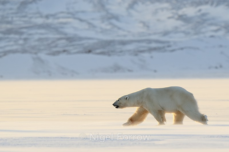 Polar Bear (male) backlit, Svalbard, Norway - Polar Bear