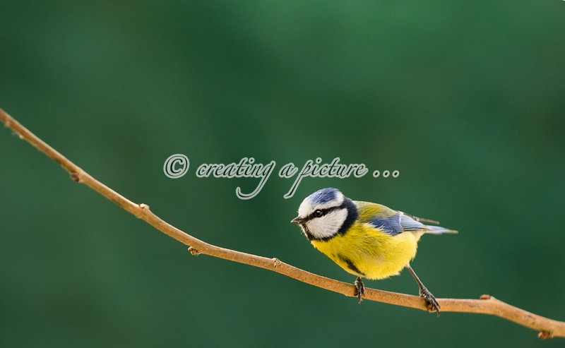 Blue Tit on Branch - Nature
