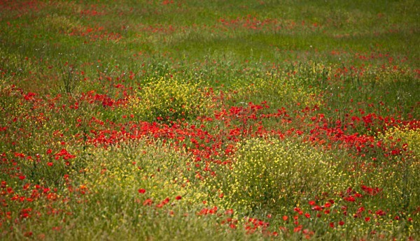 poppy impressions - Tuscany