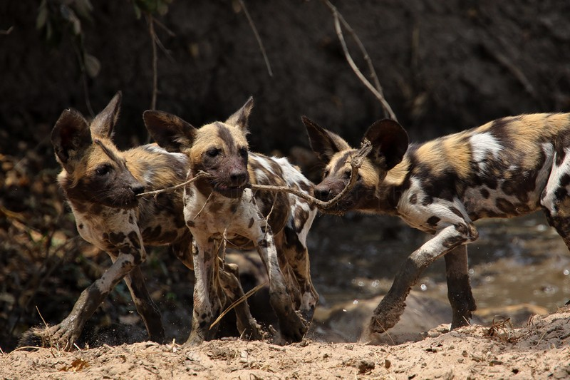 African wild dogs - Wildlife, animals and nature