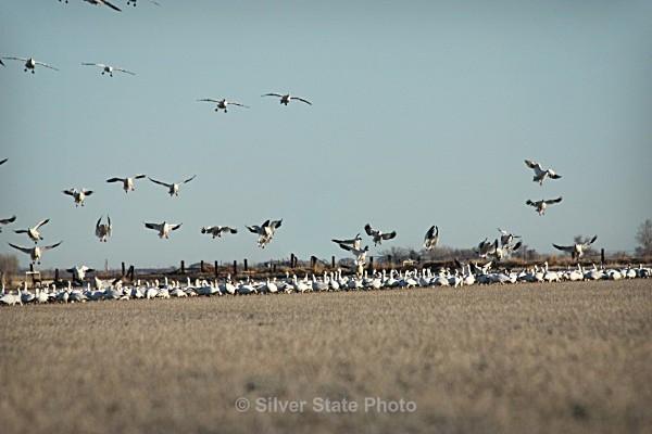 Spring Snow Geese - Nevada Birds