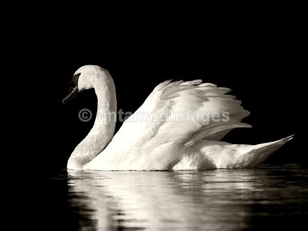 Mute swan - United Kingdom