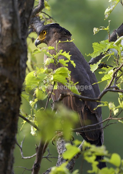 Crested Serpent-eagle - India
