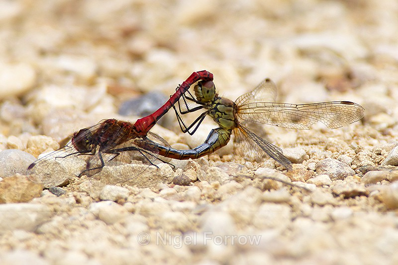 Mating pair of Ruddy Darters at Otmoor - INSECTS