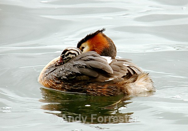 That's My boy - Great Crested Grebes